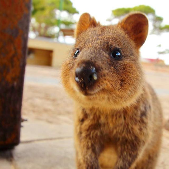 Quokka on Rottnest Island, Perth WA